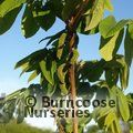 Small image of JUGLANS