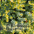 Small image of JUNIPERUS