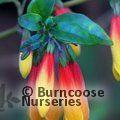 Small image of LIBONIA floribunda - see JUSTICIA
