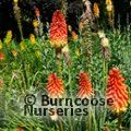 KNIPHOFIA 'Royal Castle'