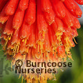 Small image of KNIPHOFIA