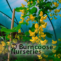 LABURNUM anagyroides 'Yellow Rocket'