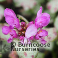 Small image of LAMIUM