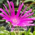 Small image of LAMPRANTHUS
