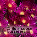 LAMPRANTHUS purple