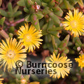 LAMPRANTHUS yellow