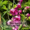 Small image of LATHYRUS
