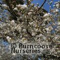 Small image of LAUREL - see PRUNUS