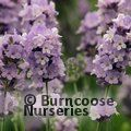 Photo of LAVANDULA angustifolia 'Melissa Lilac'