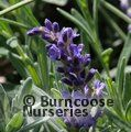 LAVANDULA angustifolia 'Royal Purple'