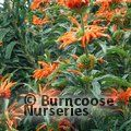 Small image of LEONOTIS
