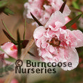 LEPTOSPERMUM scoparium 'Appleblossom'