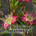 Small image of MANUKA - see LEPTOSPERMUM