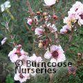 LEPTOSPERMUM scoparium 'Blossom'