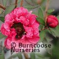LEPTOSPERMUM scoparium 'Winter Cheer'
