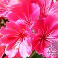 Small image of LEWISIA