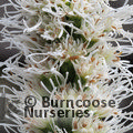 Small image of LIATRIS