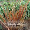 LIBERTIA 'Taupo Sunset'