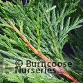 Small image of LIBOCEDRUS DECURRENS - see CALOCEDRUS decurrens