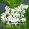Small image of LIGUSTRUM