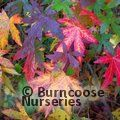 Small image of LIQUIDAMBAR