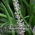 Small image of LIRIOPE