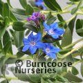 Small image of LITHODORA