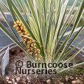 LOMANDRA longifolia 'White Sands'