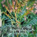 LOMATIA silaifolia