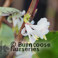 Small image of LONICERA