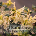 LOROPETALUM chinense 'Carolina Moonlight'