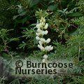 LUPINUS arboreus white flowered