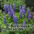 LUPINUS arboreus blue form