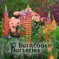 Photo of LUPINUS Herbaceous 'Manhattan Lights'