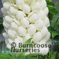 LUPINUS Herbaceous 'Polar Princess'