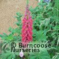 LUPINUS Herbaceous 'Red Rum'