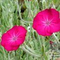 Small image of LYCHNIS