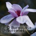 MAGNOLIA sargentiana var robusta 'Blood Moon'