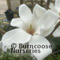 MAGNOLIA denudata 'Ghost Ship'