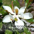 Photo of MAGNOLIA grandiflora 'Kay Parris'