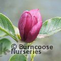 MAGNOLIA 'Mighty Mouse'