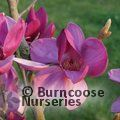 MAGNOLIA 'Royal Purple'