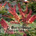 Small image of MAHONIA