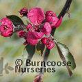 MALUS x purpurea 'Crimson Cascade'