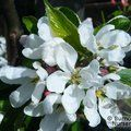 Small image of MALUS