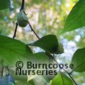 Small image of MELLIODENDRON
