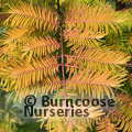 Small image of METASEQUOIA