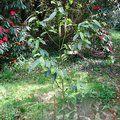 Small image of MICHELIA