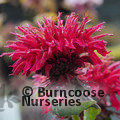 Small image of MONARDA