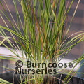Small image of MUHLENBERGIA